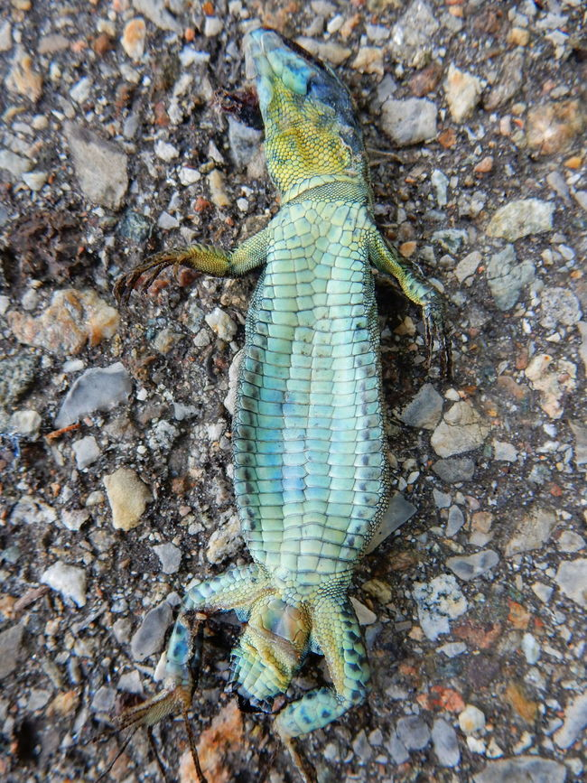 Animal Animal Themes Beauty In Nature Blue Close-up Day Dead Death Detail Died Elevated View Focus On Foreground Fragility Ground Natural Pattern Nature No People Outdoors Reptile Rock A Bird's Eye View Stone - Object Showcase July Lizard Lizards