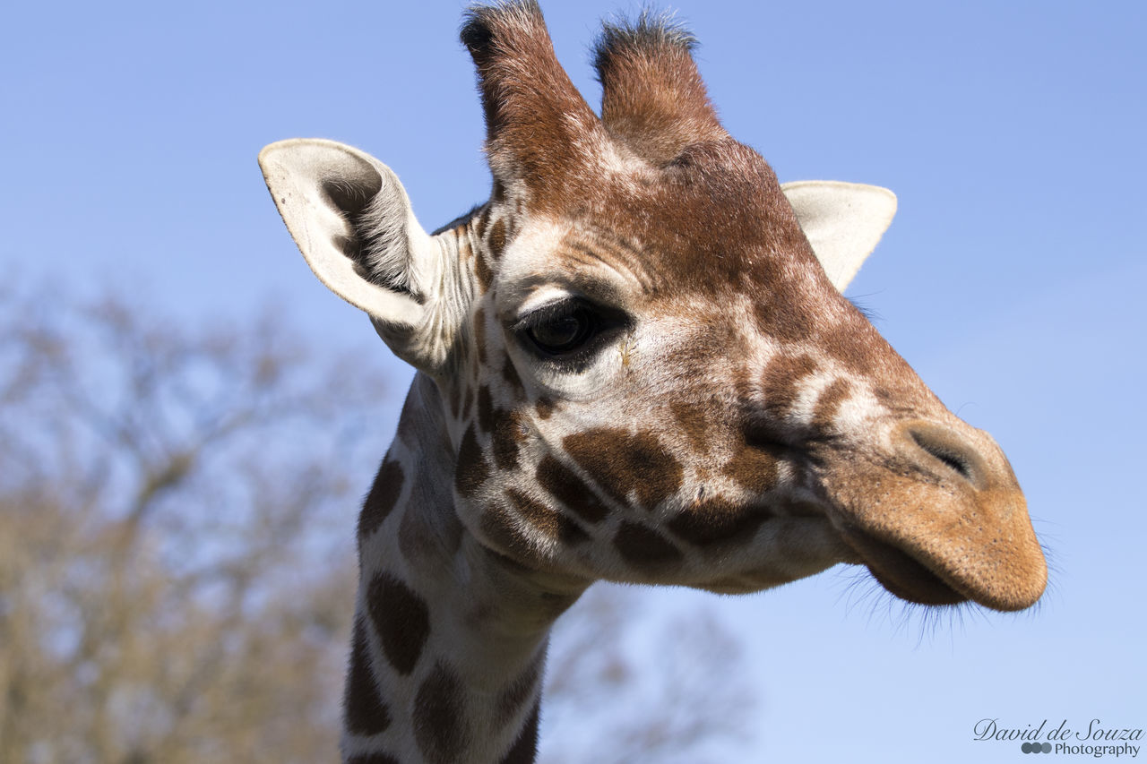 #girafe #giraffe Animal Body Part Animal Themes Animal Wildlife Animals In The Wild Clear Sky Close-up Day Giraffe Mammal Nature No People One Animal Outdoors Sky Tree
