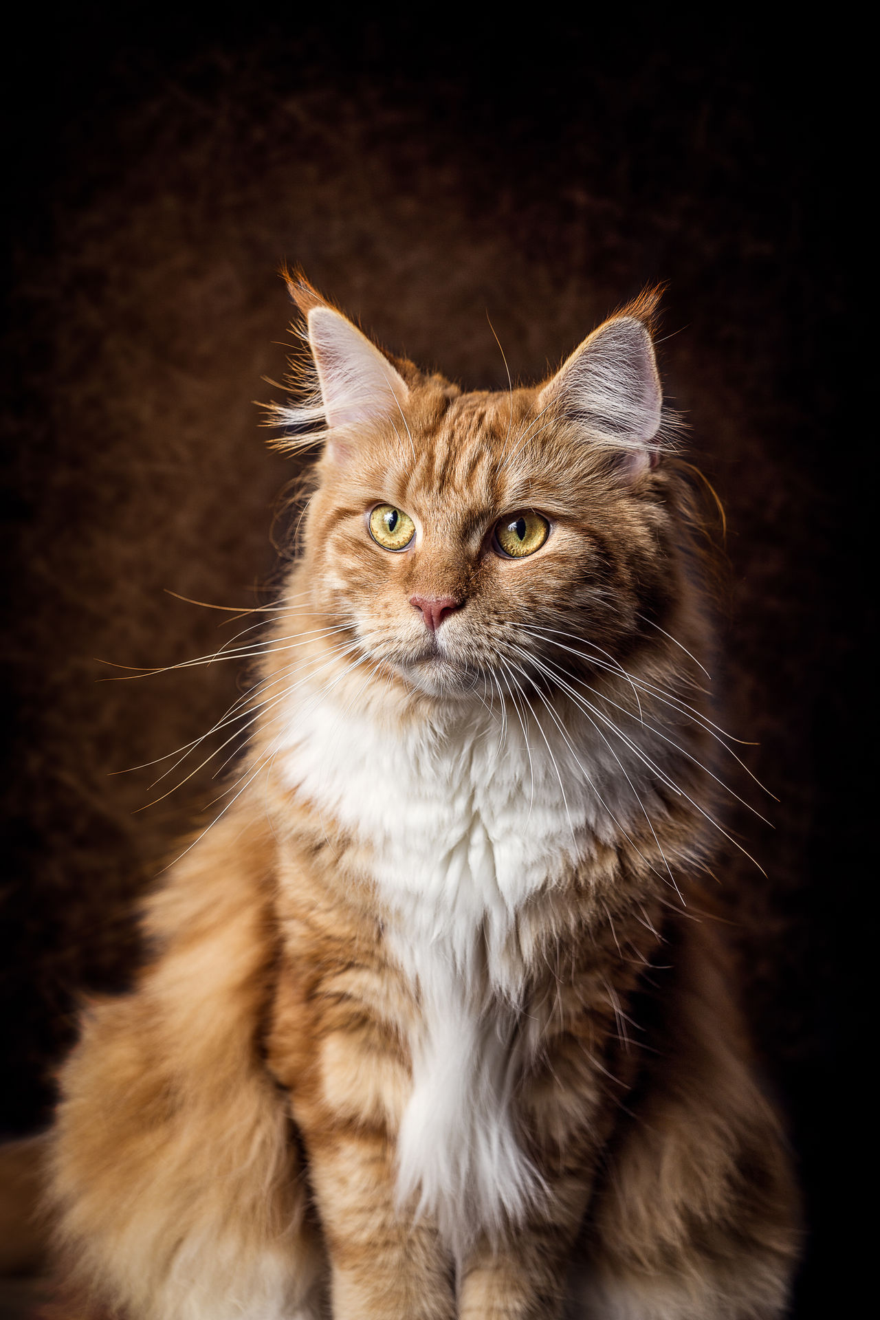Female Maine Coon Cat Animal Themes Black Background Close-up Day Domestic Animals Domestic Cat Feline Indoors  Looking At Camera Mammal No People One Animal Pets Portrait Whisker