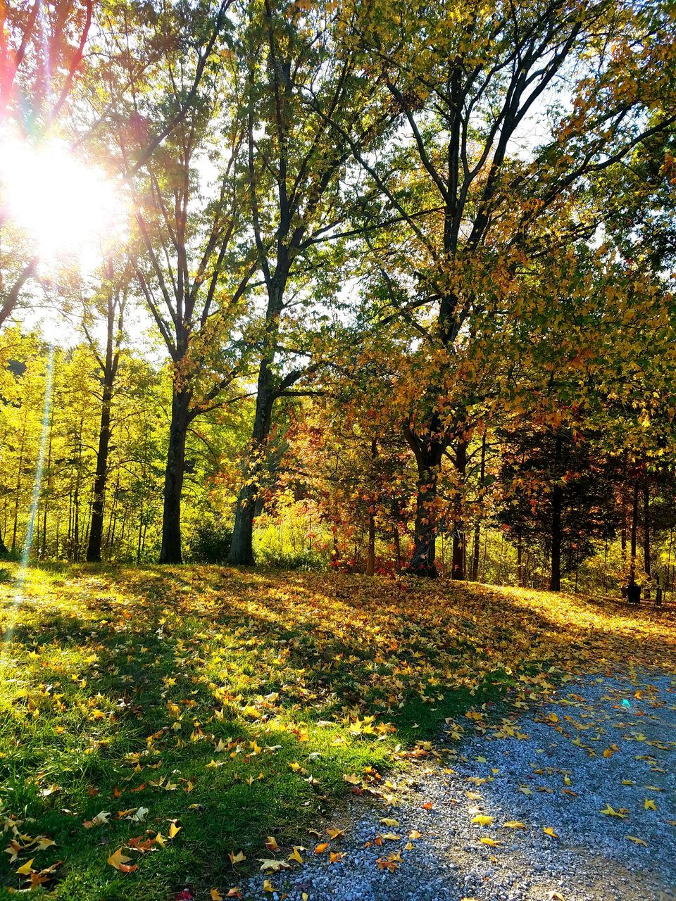 autumn, tree, nature, scenics, beauty in nature, change, tranquility, sunbeam, sunlight, tranquil scene, leaf, sun, outdoors, lens flare, no people, growth, day, forest, landscape, grass, sky