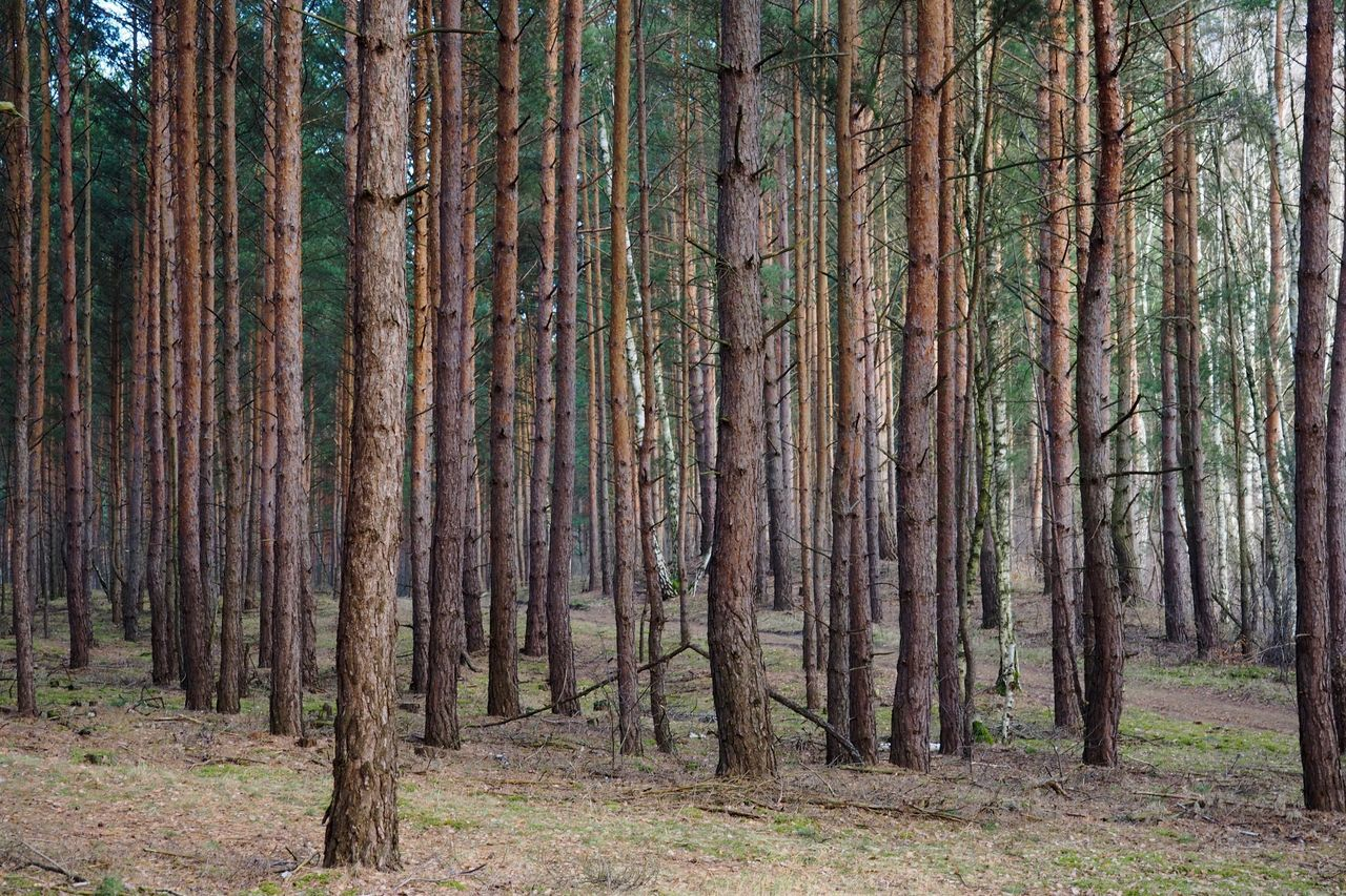 Backgrounds Beauty In Nature Copy Space Day Forest Forest Photography Growth Landscape Lush - Description Many Trees Nature Nature Needle - Plant Part No People Order Outdoors Pine Tree Symmetry Tranquil Scene Tranquility Tree Tree Trunk WoodLand