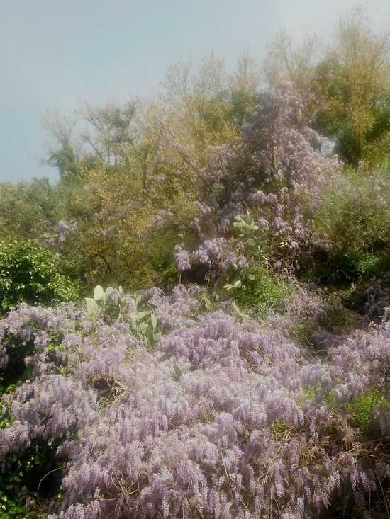 Tree Nature Growth Beauty In Nature No People Sky Tranquility Branch Outdoors Day Water Close-up Wisteria Flowered Full Bloom Blooming Explosion Mediterranean Flowers Portofino Italy