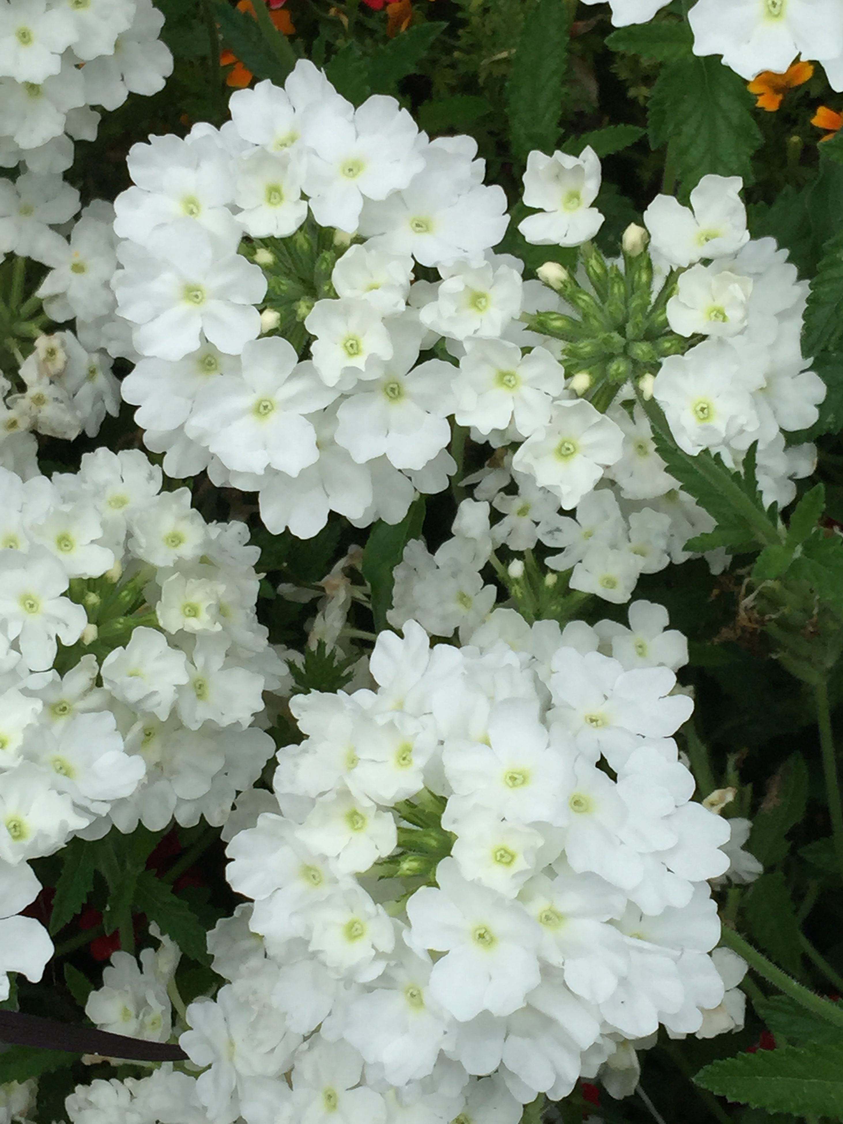 flower, freshness, petal, fragility, flower head, white color, growth, beauty in nature, blooming, nature, plant, high angle view, in bloom, close-up, bunch of flowers, blossom, leaf, botany, park - man made space, no people