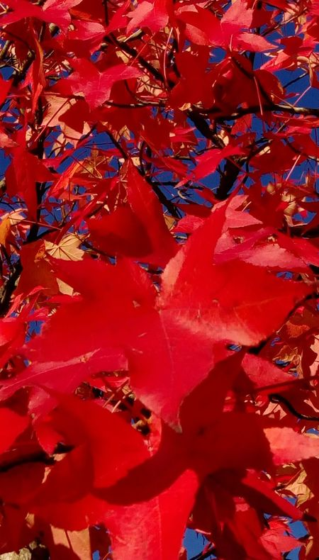 Red Vertical Backgrounds Full Frame Autumn Close-up Abstract Maple Leaf Nature Leaf Outdoors No People Autumn Collection Herbststimmung Beauty In Nature Colors and patterns Focus On Foreground Vibrant Color Tranquility Lines And Shapes Naturephotography Nature Nature_collection