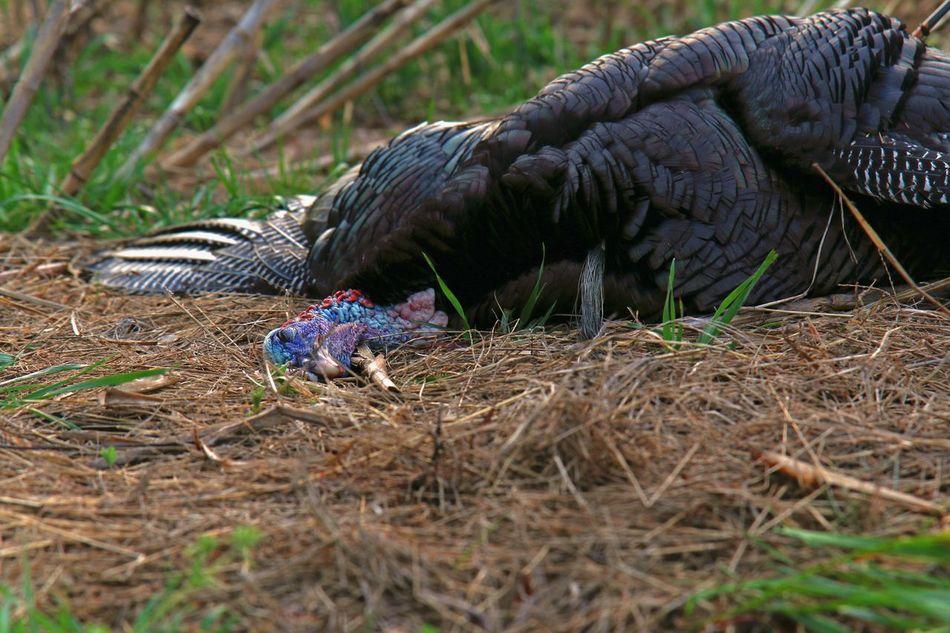 Fallen Monarch Turkey Turkey - Bird Hunting Bowhunter Bird Animal Wildlife Outdoors Nature Close-up Hunter Dead Arrow EyeEmNewHere