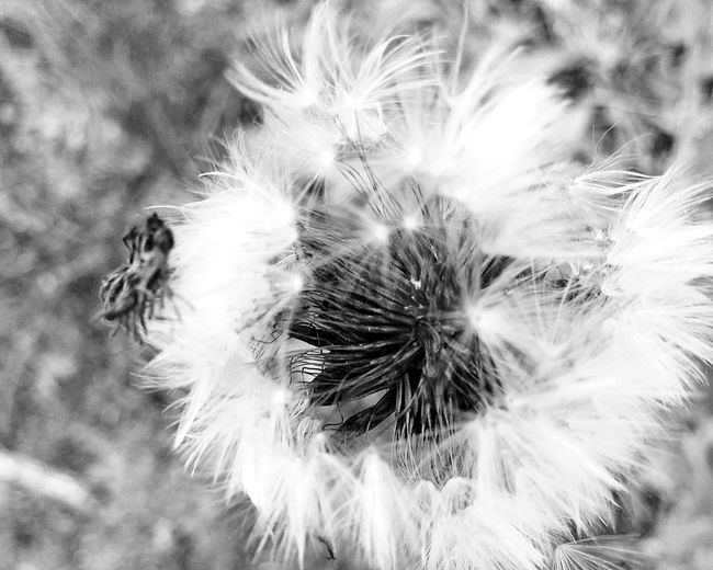 Dandelion Flower Nature Fragility Growth Focus On Foreground Dandelion Seed Plant Outdoors Beauty In Nature No People Flower Head Wildflower Softness Close-up Day Seed The Great Outdoors With Adobe Naturelovers Nature Photography Nature On Your Doorstep Landscapes With WhiteWall Nature Nature_collection Macro Nature