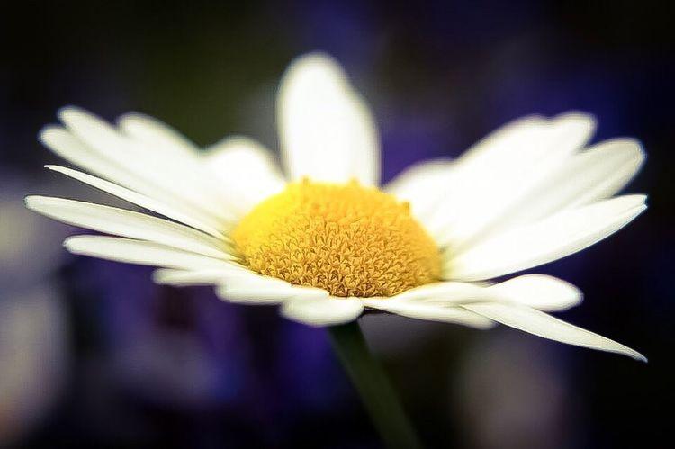 Flower Petal Beauty In Nature Yellow Freshness