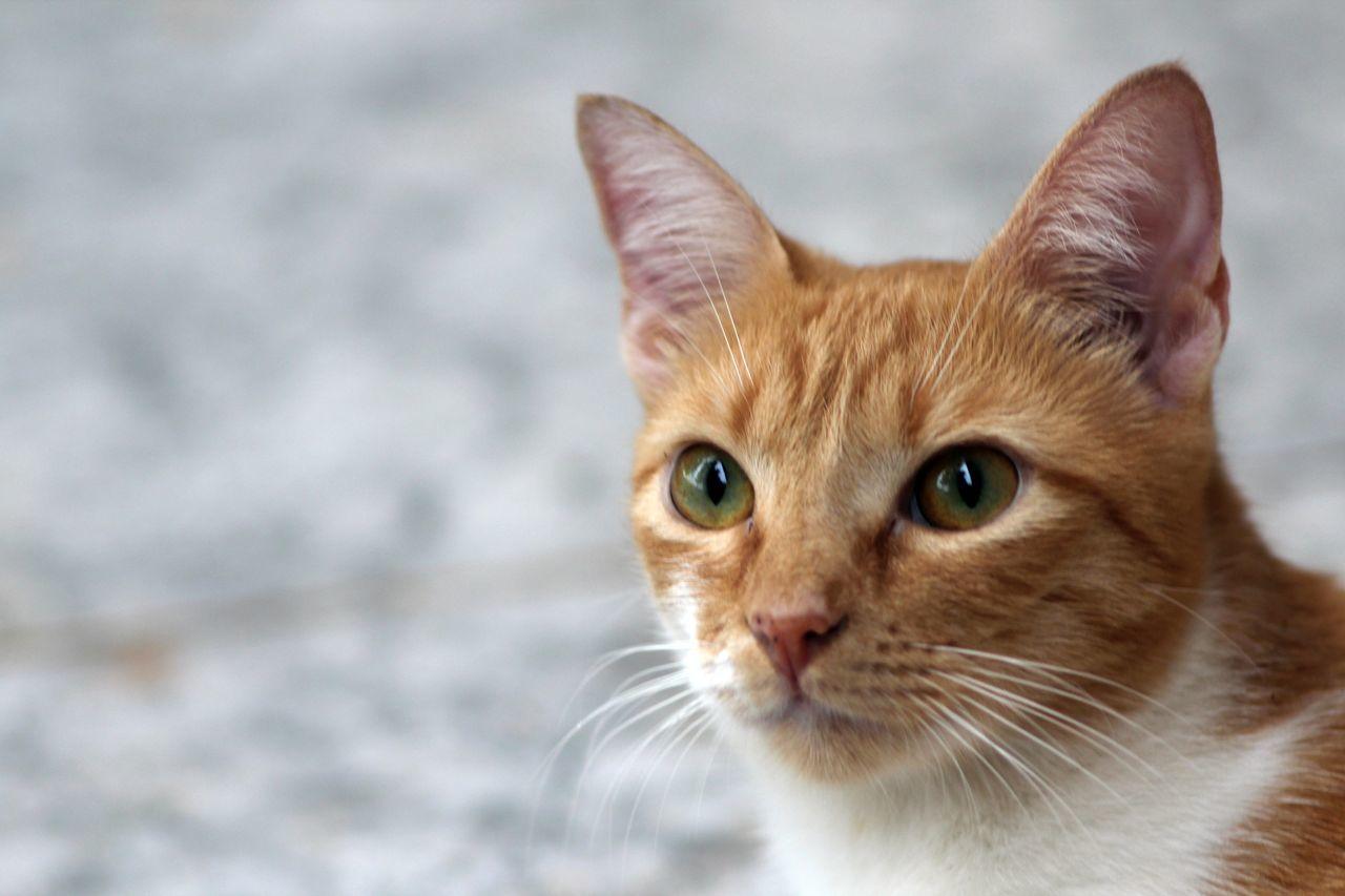 Amora Cat Cat Food Green Eyes Meow Orange Cat Pretty Pussycat