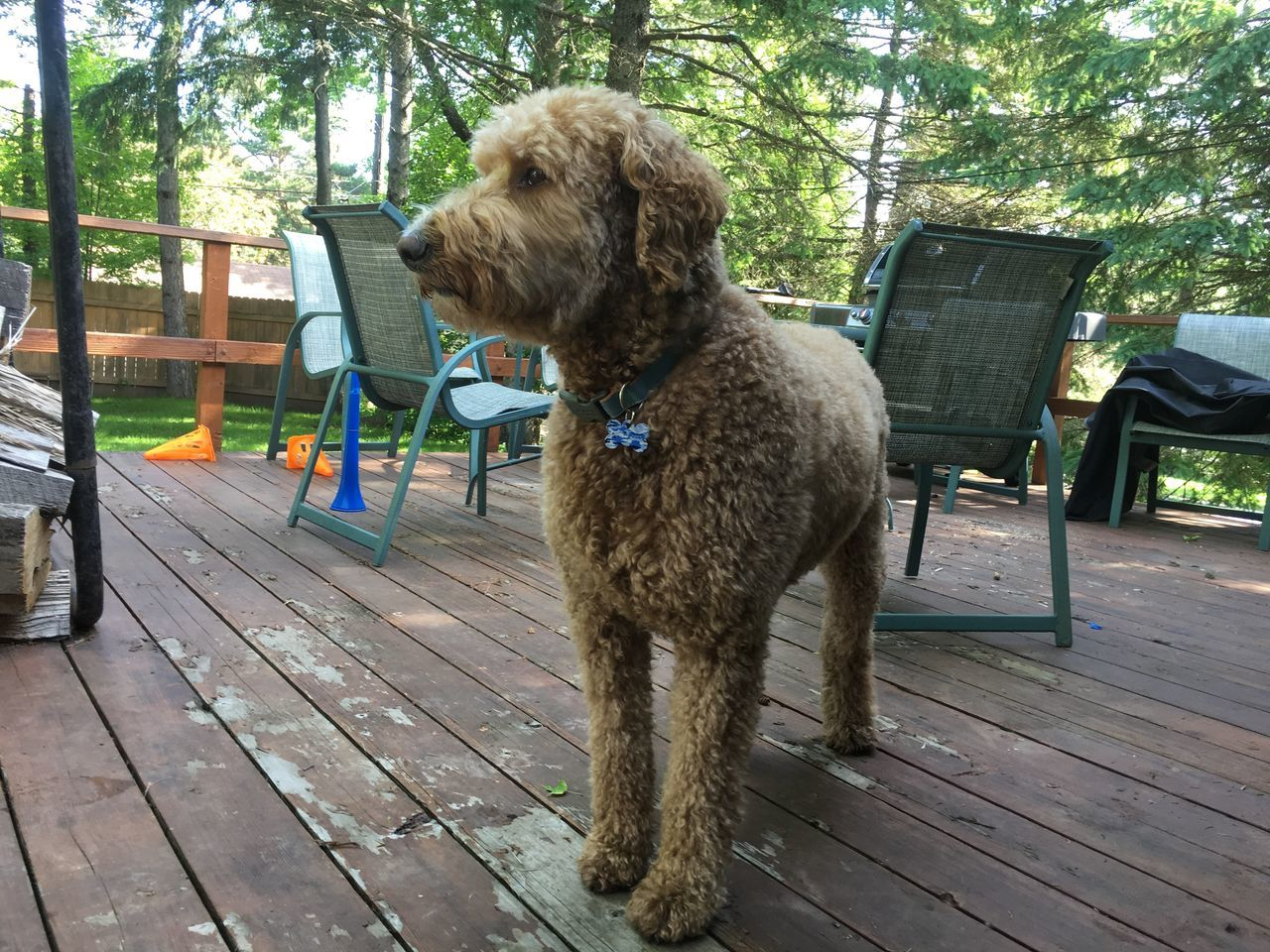 June 18, 2016 / Duluth, Minnesota Animal Brown Day Domestic Animals Duluth Goldendoodle Mammal Minnesota Nature No People Outdoors Pets Relaxation Resting Tree Wood - Material