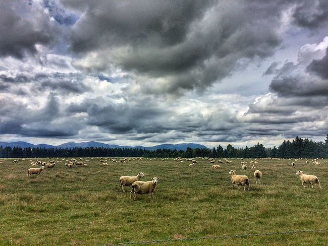 Sheep country Countryside New Zealand Sheep Cloud - Sky Grass Field Sky No People Nature Tranquility Grazing Storm Cloud Landscape