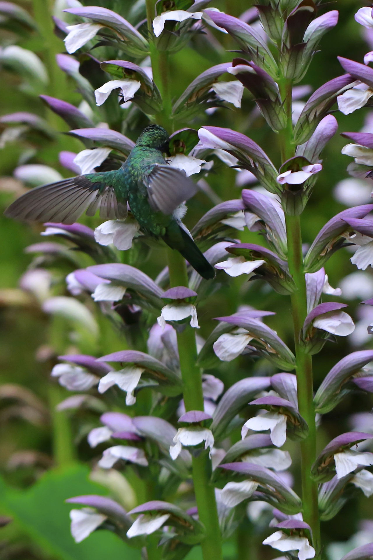 Beautiful stock photos of kolibri, Animal Themes, Animal Wildlife, Animals In The Wild, Beauty In Nature