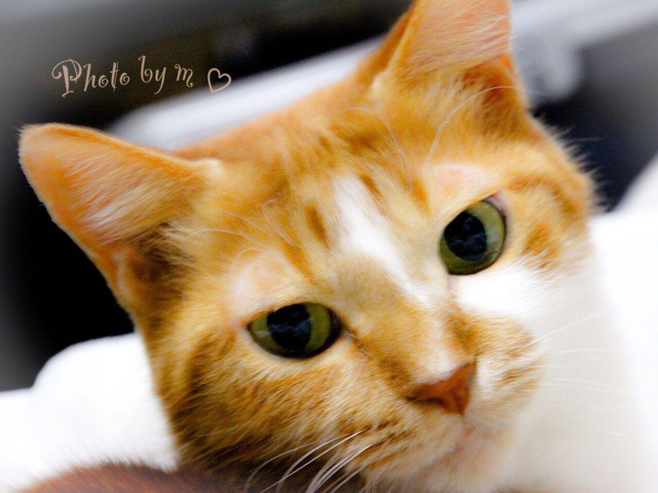 Mycat ウチの姫様 茶トラ猫 猫 Animal Cat Lovers Photography Cat♡ Cat 美猫
