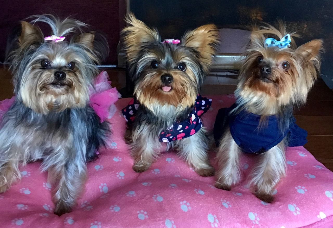 Little Bits N pieces, Haylo Heart and Ava Lou Adorable Dog Cute Dogs Cute Pets Cute Pets Cat Dog Domestic Animals Pampered Pets Pets YorkieBestShots