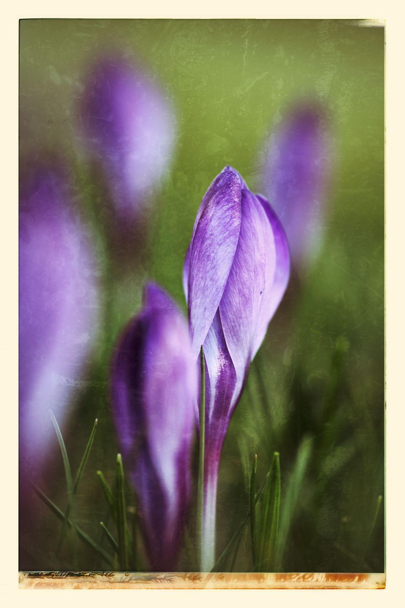 Macro Nature Spring Flowers Krokus