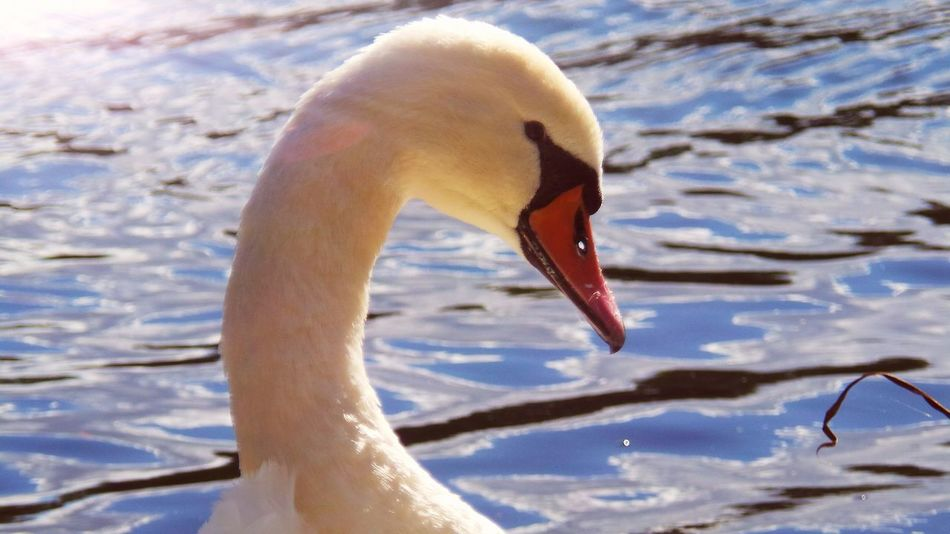 Animal Themes Animals In The Wild Water Swan Lake Water Bird Autumn Is Here Mühlhausen Autumn🍁🍁🍁 Schwanenteich The Places I've Been Today September 2016 Autumn 2016 Outdoors