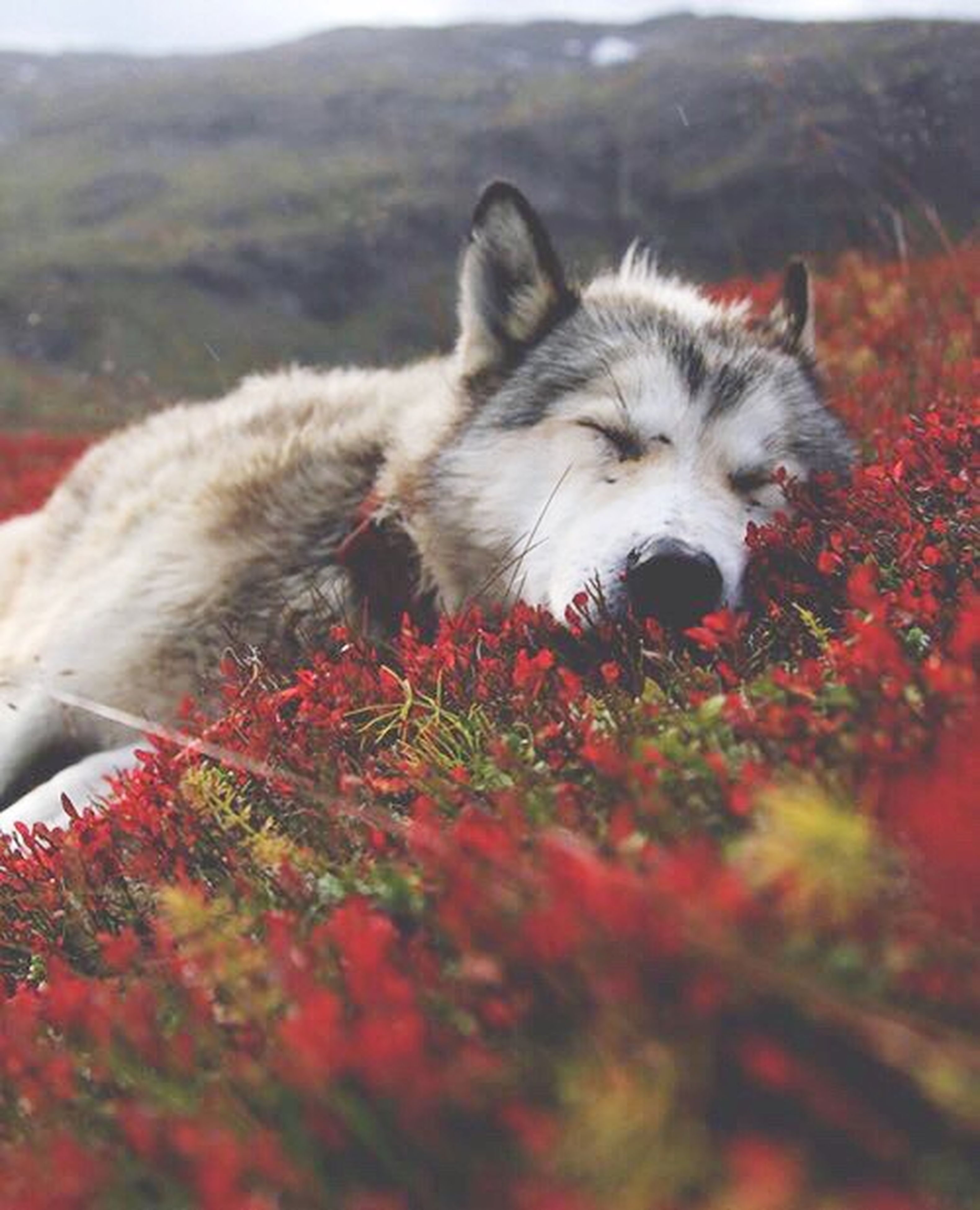 one animal, domestic animals, selective focus, animal themes, pets, dog, red, field, day, nature, mammal, flower, beauty in nature, outdoors, animal head, fragility, zoology, tranquility, no people, freshness, tranquil scene, cloud - sky, pink color