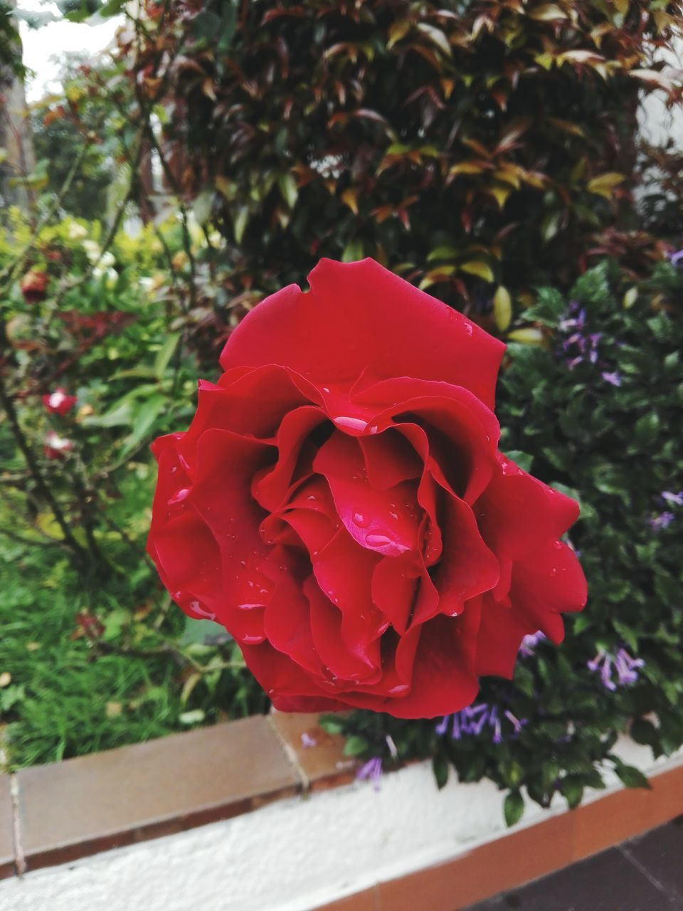 flower, beauty in nature, petal, nature, fragility, rose - flower, red, growth, flower head, freshness, plant, no people, day, blooming, outdoors, close-up