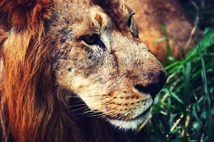 The King.. Animal Themes One Animal Close-up Animals In The Wild Animal Head  Mammal No People Outdoors Animal Wildlife Nature Day Animal Body Part lion First Eyeem Photo