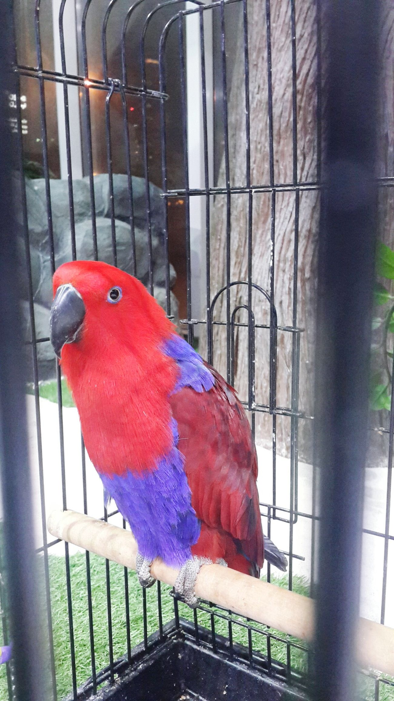 Parrotsofinstagram Eclectusparrot Pretty♡ Colors Just Taking Pictures Beauty! Colorfull Red Purple Redpurplefeathers