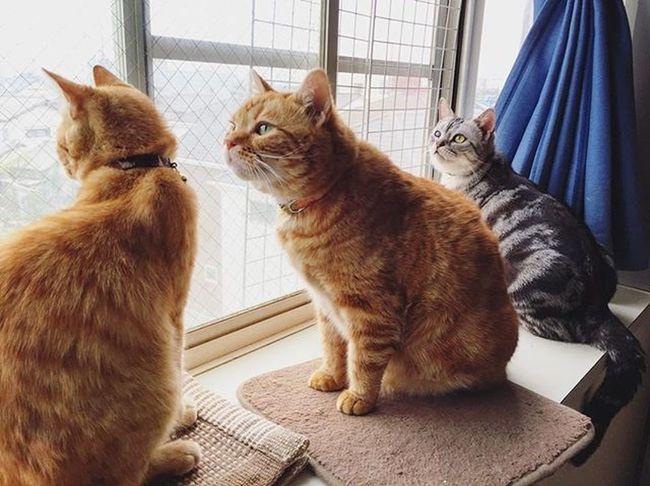 アメリカンショートヘアー アメショ Americanshorthair ズズ ズズ子 Zuzu ズズっぺ シルバータビー Cat Neko ねこ 猫 ねこ Cats スコティッシュフォールド Scottishfold 茶トラ ロロ Lolo コケティッシュフォールド コケティッシュホールド Piopio Pio ピオ エサと猫砂買ってダッシュで帰ったけど…曇ってるし風強くなってきたしお出かけはまた今度な…😅💦しかも久々に美猫写真撮れた…😆😸👍ズズもロロも目があれだから…左からの撮影がオフィシャルですから…👏