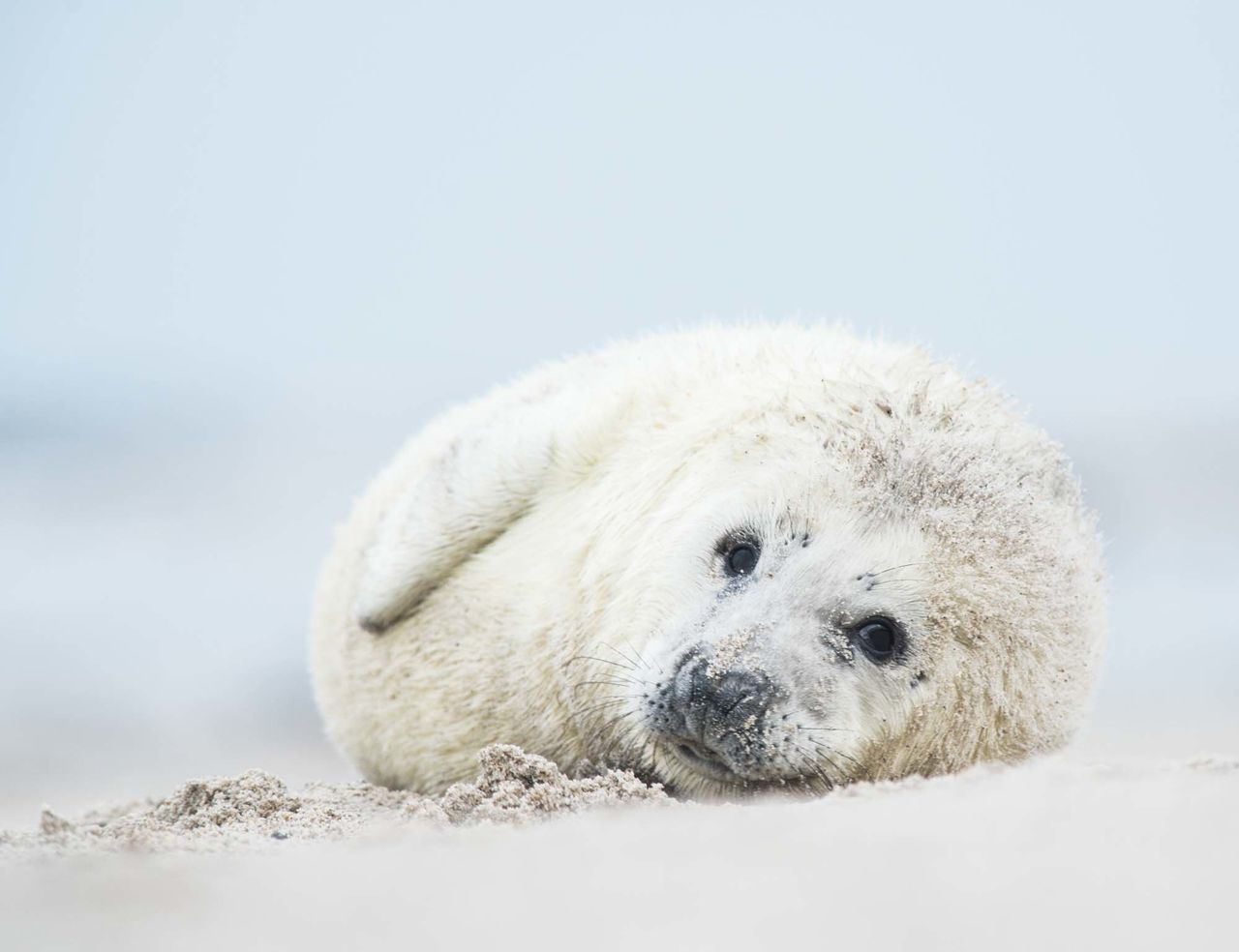 Baby seal Animal Themes Animal Wildlife Animals In The Wild Archival Baby Seal Close-up Cold Temperature Day Environment Mammal Nature No People Outdoors Polar Bear Sea Snow Softness White Background White Color Winter