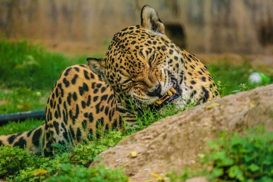 Beautiful stock photos of leopard, NULL