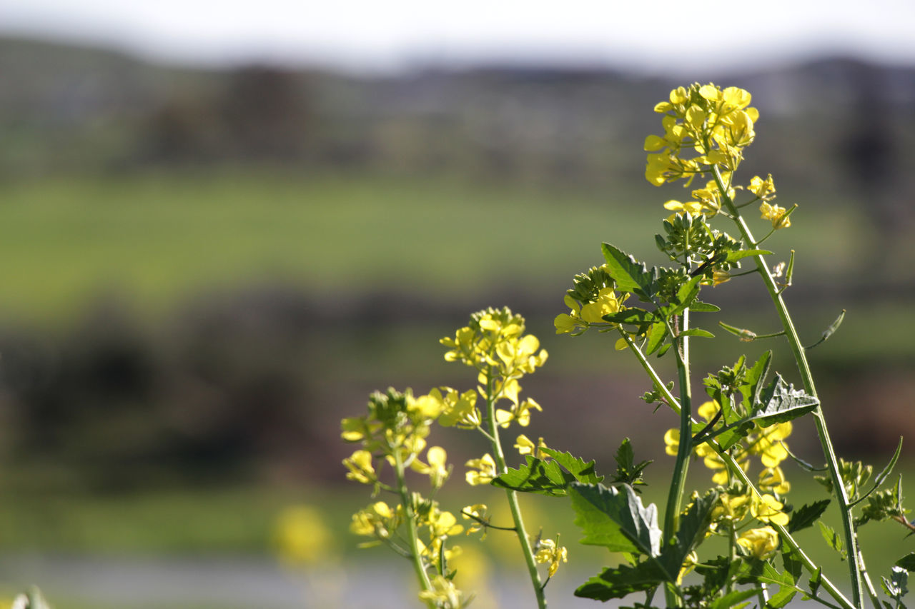 Agriculture Beauty In Nature Colors Day Field Flower Flower Head Flowers Freshness Green Growth Landscape Nature Nature No People Outdoors Plant Spring Springtime Sunny Yellow Yellow Flower