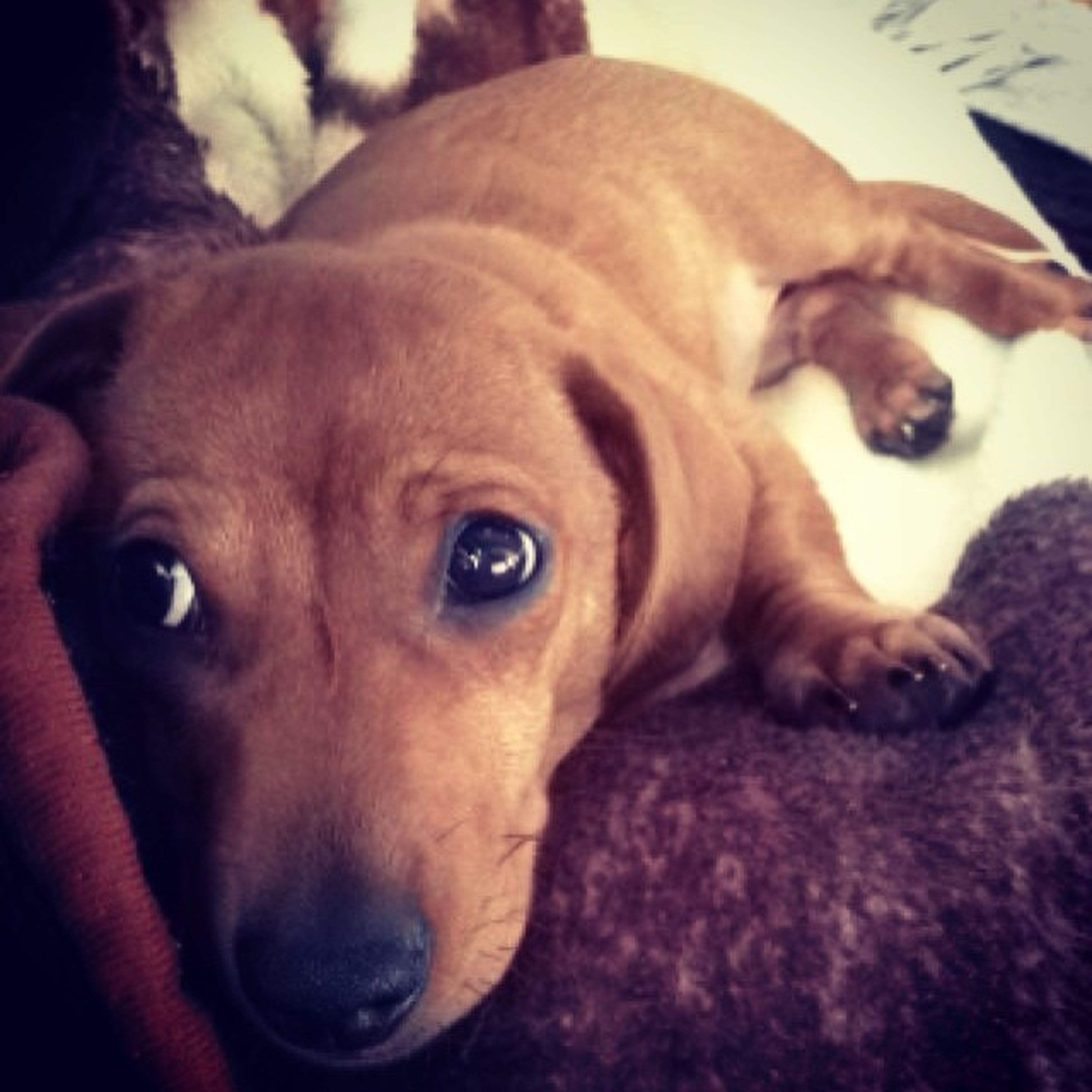 Too cute for his own good?? Canhegetanycuter Dachshund Puppy Littlebaby tooadorable cuterthancute obi