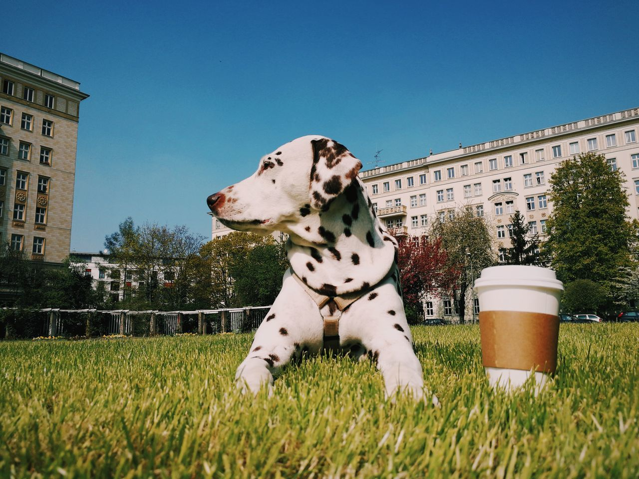 dalmatian dog, pets, domestic animals, one animal, animal themes, grass, dog, mammal, building exterior, architecture, day, outdoors, built structure, nature, no people, clear sky, sky