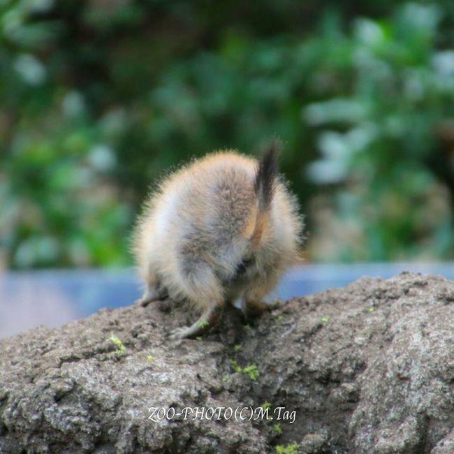 ZOO-PHOTO Zoo Animals 上野動物園 尾黒プレーリードック 名は体を表す