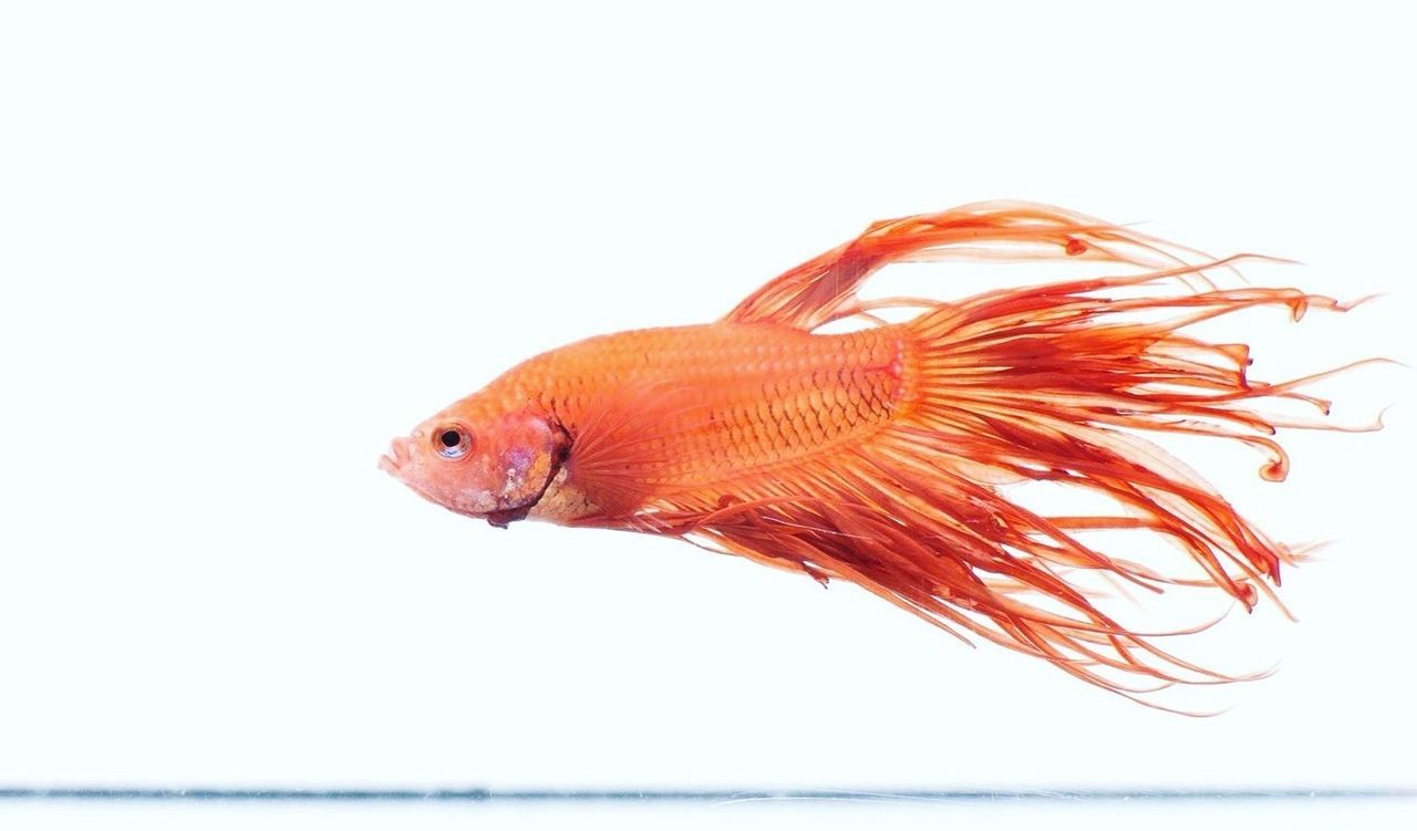 Betta Fish Betta  Betta Lovers Bettafishcommunity Bettasplendens Bettatank