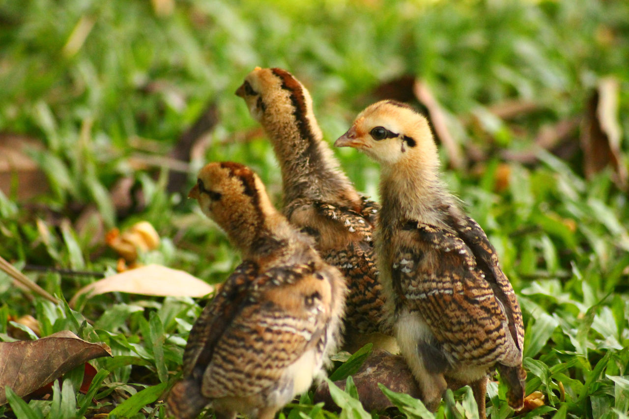 Togetherness Close-up Grass Outdoors Day Animal Themes Perching No People Bird Fowl Little Chicken Livestock Farm Animals Farm Life Domestic Animals Golden Shimmer
