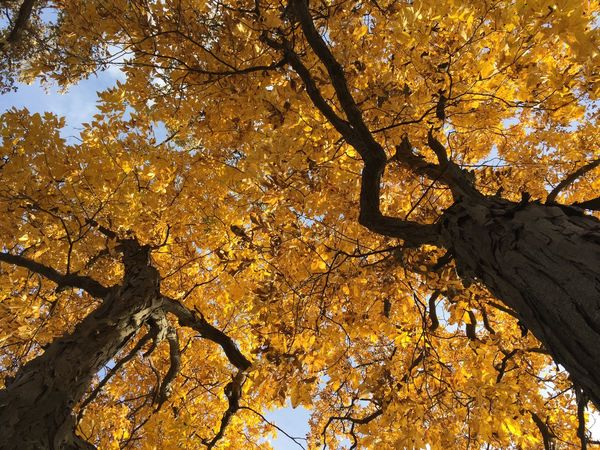 IPS2015Fall Autumn, trees, leaves, yellow