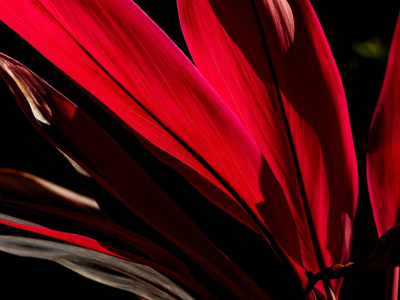 Leafs Leaf Veins Red Color Red Beauty In Nature Close-up Growth Nature Full Frame Freshness Tranquil Scene The Week Of Eyeem My Unique Style EyeEm GalleryOutdoors Illuminated Master Class Abstract Expressionism Silhouette_collection Silouette And Shadows Original Experiences Abstract Photography Artistic Expression Backgrounds
