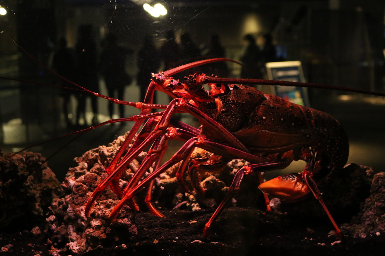 Beautiful stock photos of lobster, Animal Themes, Animal Wildlife, Animals In Captivity, Aquarium