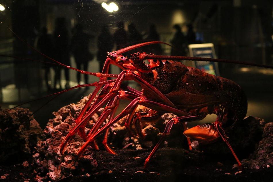 Beautiful stock photos of lobster, Animal Themes, Animal Wildlife, Animals In Captivity, Aquarium