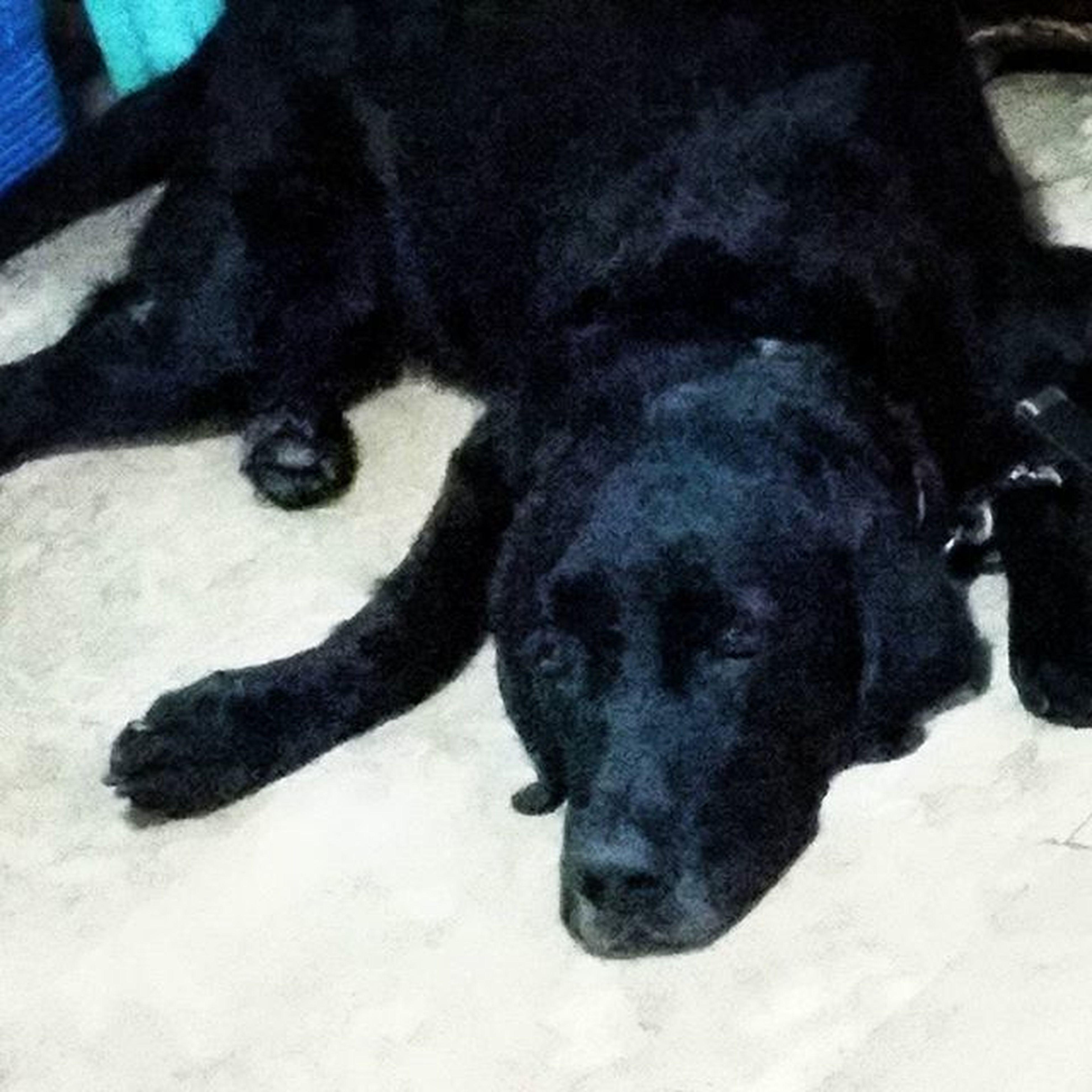 my fat black dog Jumboz Labrador