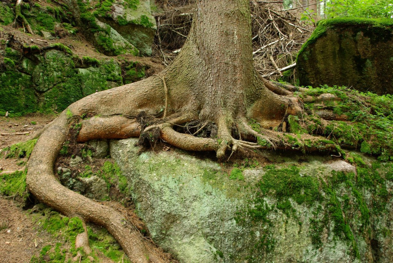 Roots and Rocks Day Green Color Growth Moss Nature No People Non-urban Scene Outdoors Rock Root Solitude Tranquil Scene Tranquility Tree Tree Trunk WoodLand