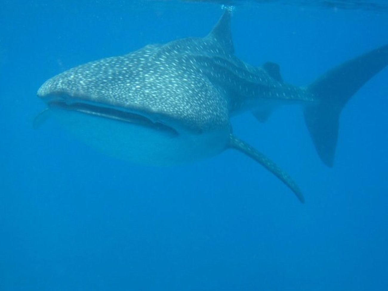 Snorkling with Whale shark at South Ari Atoll in Maldives Snorkling With Whale Shark
