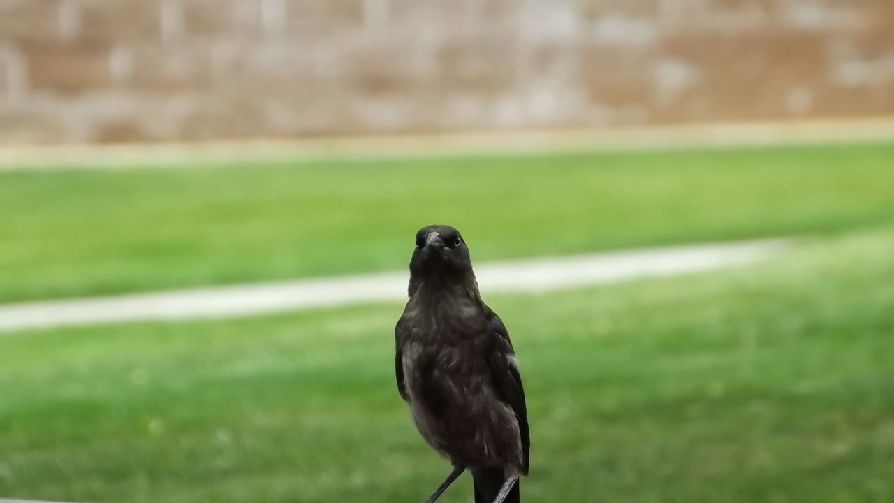Brewers Blackbird Bird Bird Photography Young Bird Learning To Fly Birds_collection Outdoor Photography Beauty In Nature Photography Outdoors Photograpghy  Close Up Photography Birds In Nature Naturephotography Bird Watching