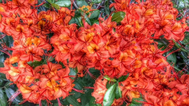 🌺 Rhododendron Rhododendrons Rhododendronblossoms Flower Freshness Petal Flower Head Bunch Of Flowers Orange Color Natural Pattern Awesome_nature_shots Nature Photography Eye4photography  EyeEm Best Shots - Nature EyeEm Nature Lover Epic Shot Photography Beautiful Flowers Flower Photography Flower Collection Flowerporn EyeEm Best Shots Beautiful Nature Eyeemphotography Flowers,Plants & Garden Follow4follow