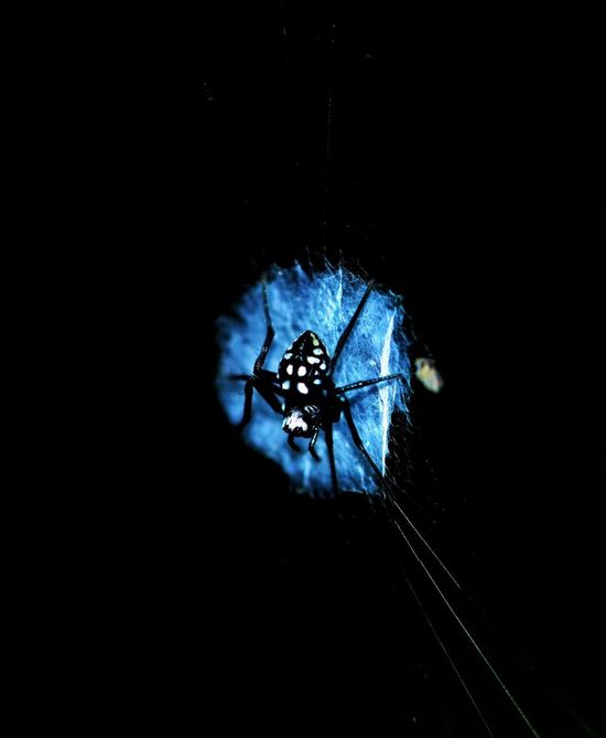 Black spider with white spots on silky web Macro Beauty Spider Arachnid Photography Arachnid The Week On EyeEm EyeEm Selects Predator Macro_collection Macro Photography White Spots Black Spider Spider Web Animal Themes Animals In The Wild No People One Animal Close-up Nature Night Outdoors