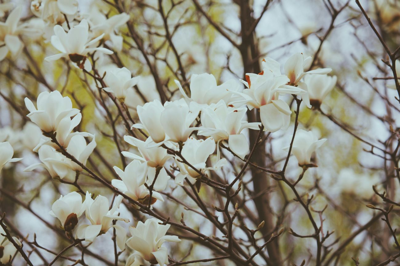 VSCO March Spring Flowers Spring Flowers Magnolia
