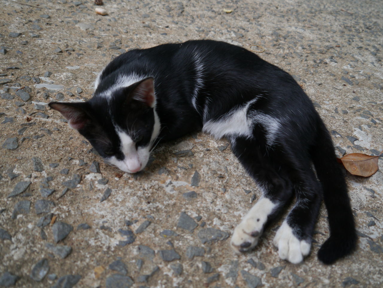 domestic animals, animal themes, pets, mammal, domestic cat, one animal, feline, no people, day, outdoors, close-up