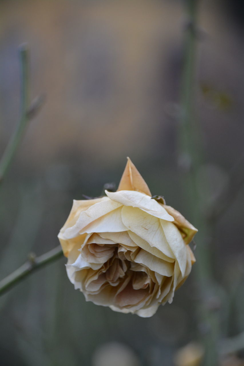 flower, petal, rose - flower, nature, fragility, growth, flower head, focus on foreground, plant, beauty in nature, outdoors, no people, close-up, day, freshness, blooming