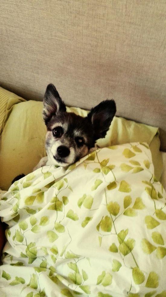 Lämnar husse sängen på morgonen så gäller det att vara snabb... My Dogs Are Cooler Than Your Kids Lundehund/papillon I Love My Dog❤ Min Hund EyeEm Pets
