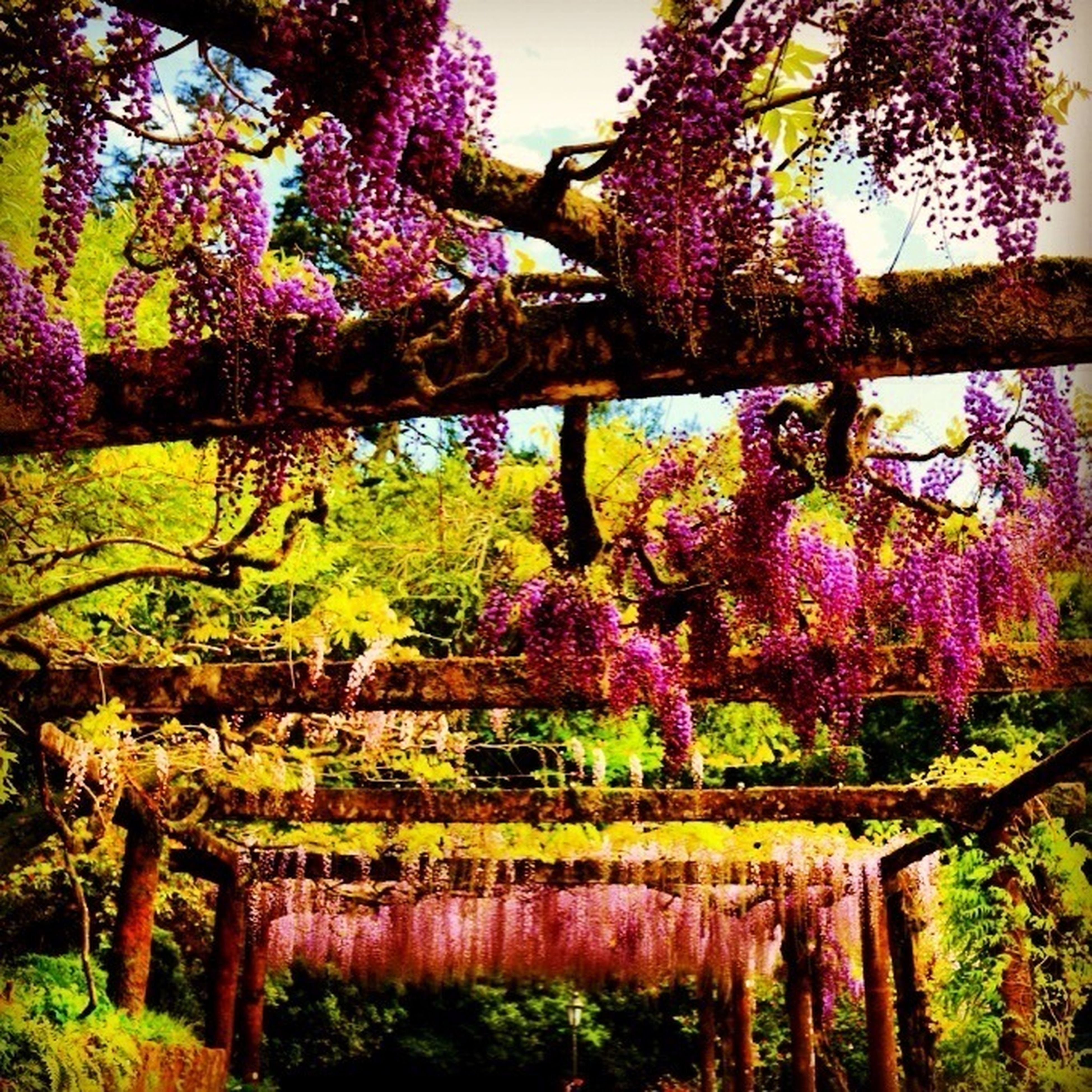 tree, flower, growth, branch, beauty in nature, nature, tranquility, pink color, tree trunk, park - man made space, plant, tranquil scene, outdoors, railing, freshness, day, purple, no people, scenics, fence