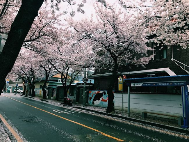 Tree Cherry Blossom Cherry Tree Blossom Flower Branch Springtime Road Transportation Beauty In Nature Nature Outdoors No People Day Built Structure Growth Fragility Building Exterior Architecture Freshness