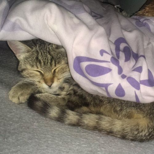 Sleepy Sleeping Yumina Yummy cute bed paradise cover cat catporn VanillaKindOfLove evening night realised CantStop WontStop happy absolutely grateful SendingLoveAndKisses goodnight