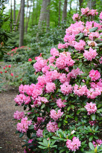 pink rhododendron in a park Blooming Botany Flower Pink Color Purple Rhododendrons Rhododendroninbloom Rhododendronblossoms Rhododendron Rhododendroninfullbloom Blossom Growth Green Color Plant Flower Head Growing Park Garden